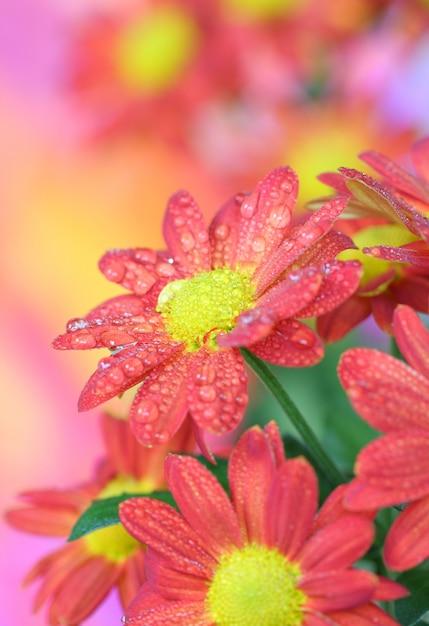 Close-up of   chrysanthemum flower Premium Photo