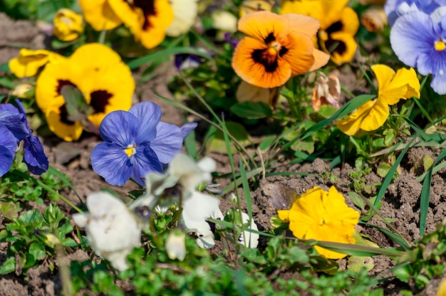 Close-up of colored pansy flowers. Premium Photo