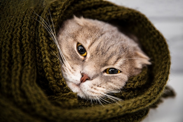 Close up cute cat in scarf Free Photo