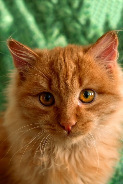Close up cute fluffy red cat on a green Premium Photo