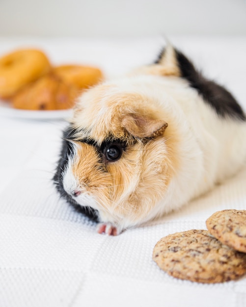 Close-up of cute guinea pig and cookies Free Photo