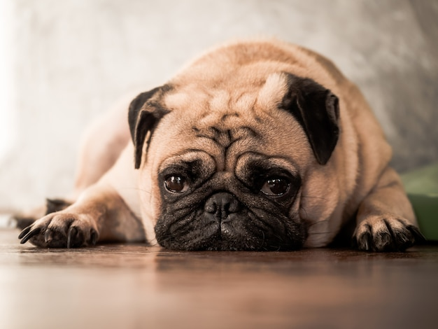 Close up of cute pug dog lying down on wooden floor at home. Premium Photo