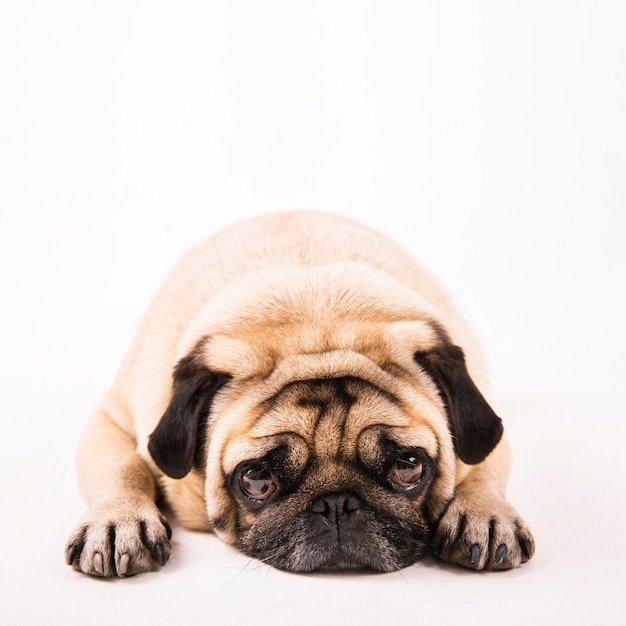 Close up cute pug laying Free Photo