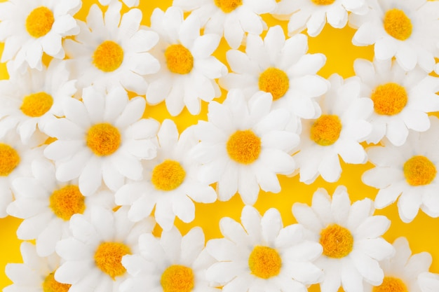 Close up of daisy flowers on yellow background Free Photo