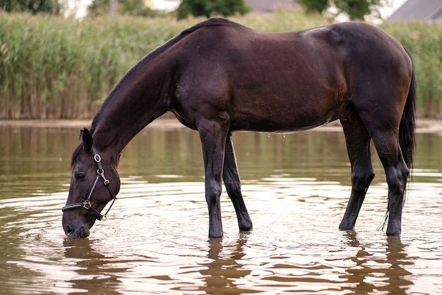 Close-up of a dark horse drinks water from a lake. horse ride Premium Photo