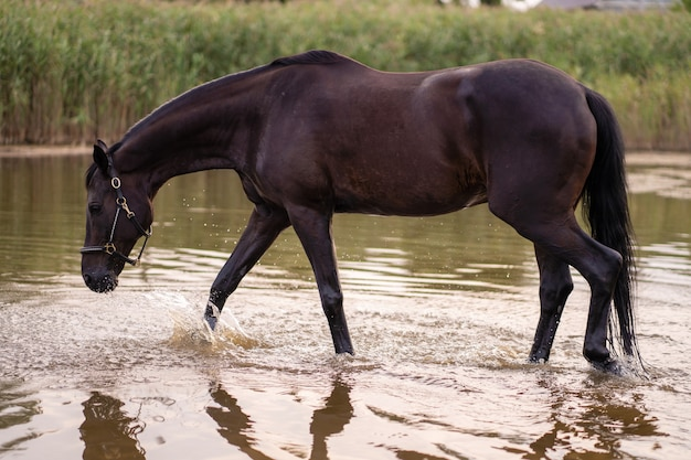 Close up of a dark horse drinks water from a lake, Premium Photo