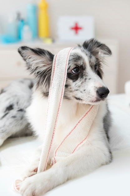 Close-up of a dog with bandage on table Free Photo