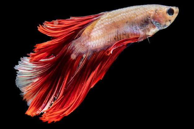 Close-up dumbo betta splendens fighting fish Free Photo