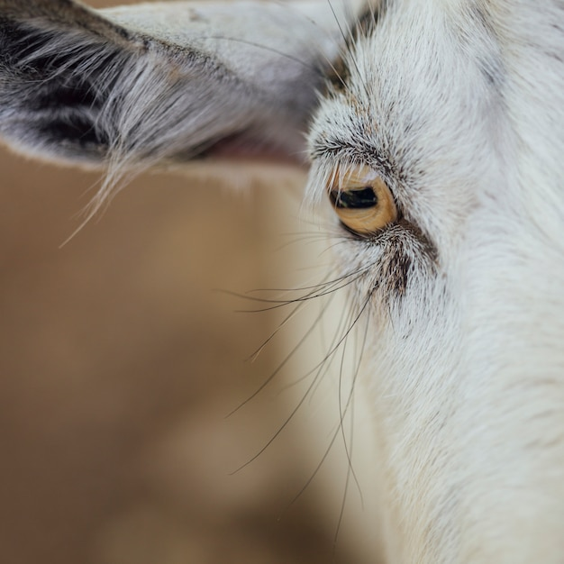 Close-up eye of a cow Free Photo