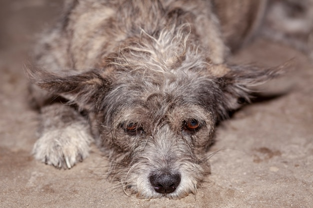 Close up eye on head gray and brown color thai dog is sad. Premium Photo