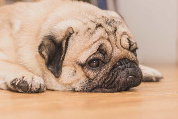 Close-up face of cute pug puppy dog sleeping. it is hoped the boss will come back soon Premium Photo