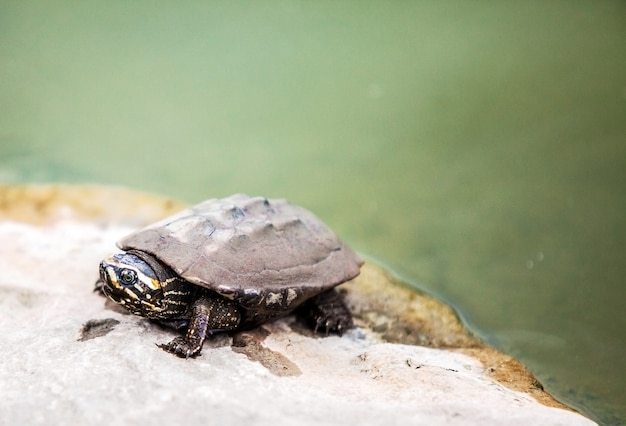 Закрыть лицо грязной черепахи на камне в месте купания Premium Фотографии