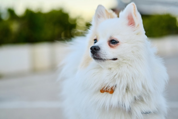 Close-up face of white pomeranian spitz. Premium Photo
