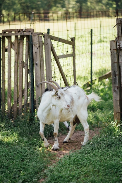 Close-up farm goat entering stable Free Photo