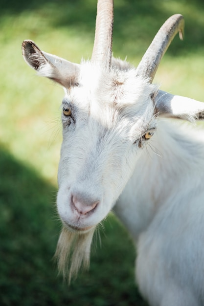 Close-up farm goat on pasture Free Photo