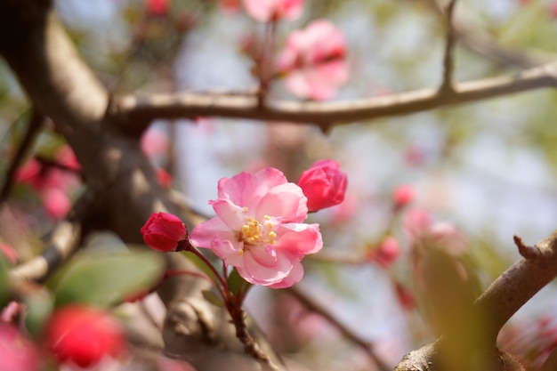 Close-up flower are blooming in bright sunlight on the tree. busan, south korea. Premium Photo