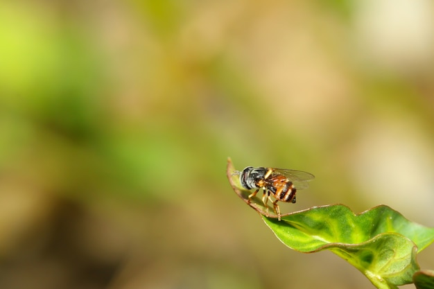 Close up the flower fly insect on leaf Premium Photo