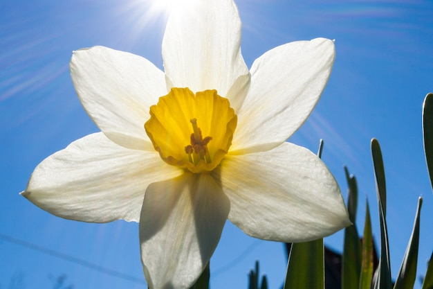 Close-up flower of white narcissus and sunbeams on blue sky. Premium Photo