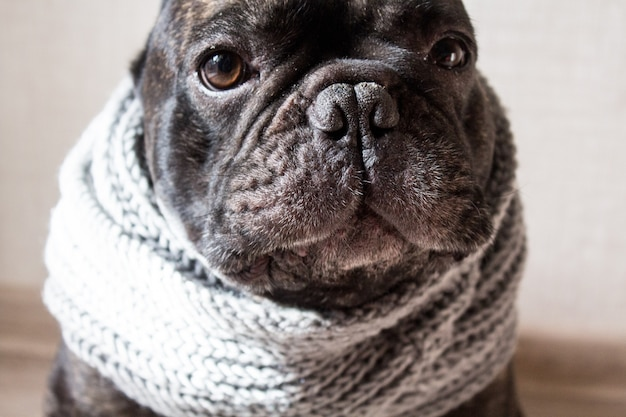 Close up french bulldog with a knitted warm scarf, cute cozy black dog. Premium Photo