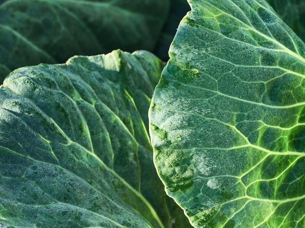 クローズアップの新鮮な緑のキャベツの葉。 Premium写真