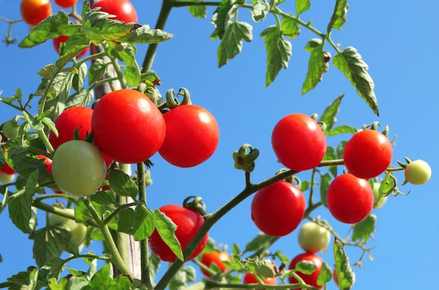 Close up of fresh red ripe tomatoes growing in the vegetable garden. Premium Photo