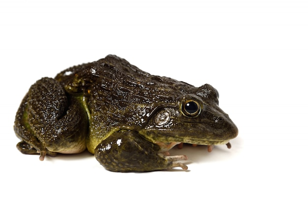 Close up of frog isolated Premium Photo
