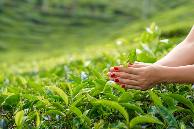 Close-up, the girl gently collects the top leaves of tea from green bushes high in the mountains. tea valley tea production. Premium Photo