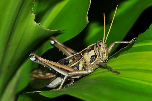 Close up of a grasshopper on green leaf Premium Photo