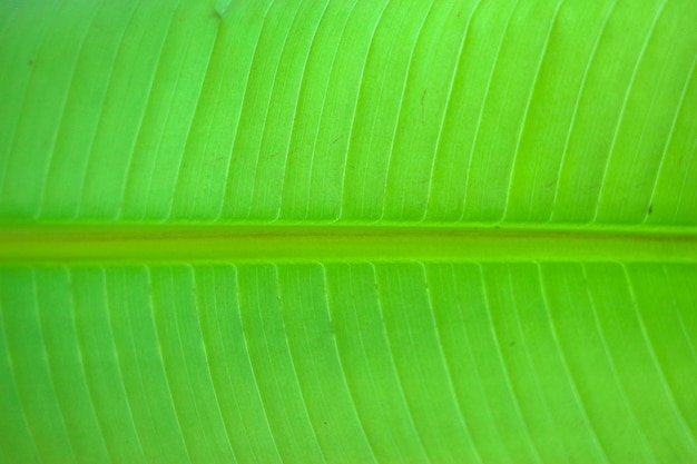 Close up on green banana leaf, can use for background or texture Premium Photo