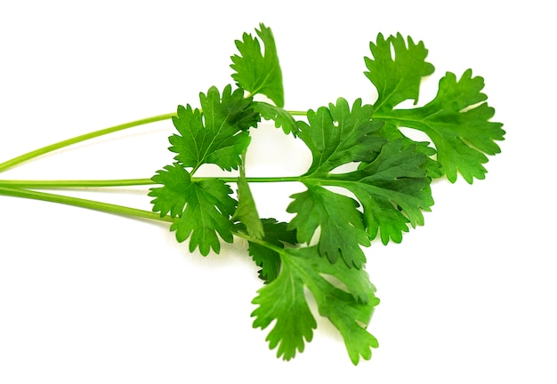 Close-up green branch of cilantro or coriander isolated on white background Premium Photo