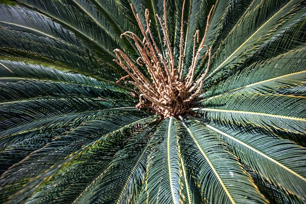 Close up of green branches of an egyptian palm tree in the garden. Free Photo