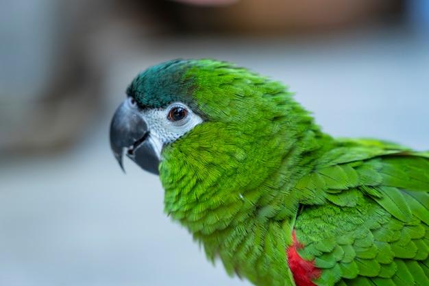Close up green hahn macaw red shoulder Premium Photo