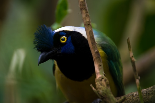 Close up of a green jay (cyanocorax yncas), blue bird with yellow eyes Premium Photo