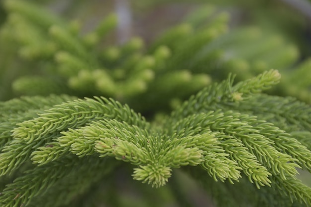 Close up green leafs of norfolk island pine on dark background. Premium Photo