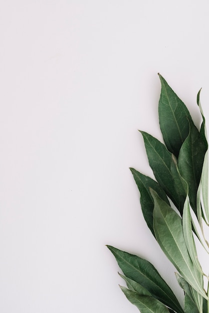 Close-up of green leaves on white background Premium Photo