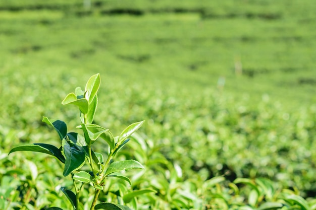 Close up green tea leafs in farm on plateaus in countryside of thailand. Premium Photo