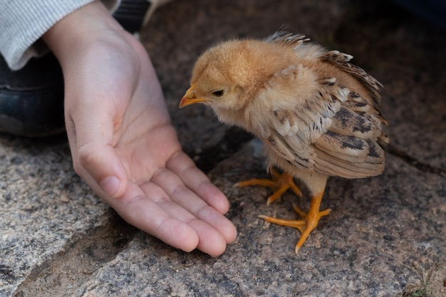 Close up hand of a child taking care of a cute small chick. baby chicken. Premium Photo