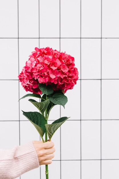 Close-up of hand holding a large beautiful red hydrangea flower Free Photo