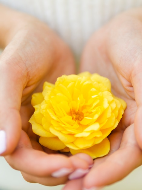 Close up hand holding natural rose Free Photo