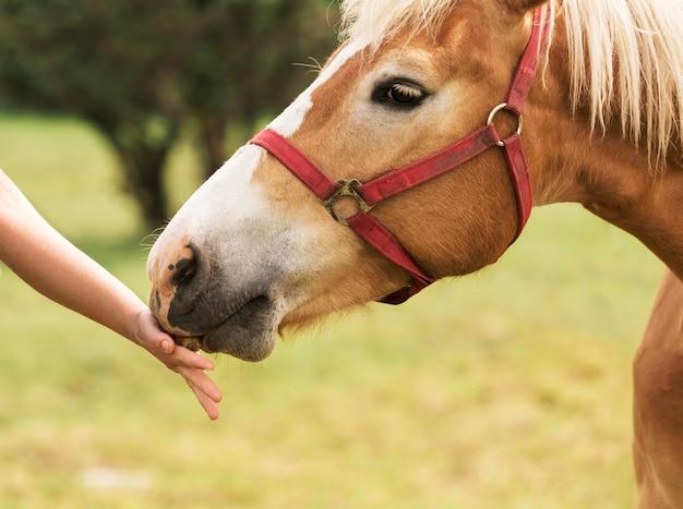 Конец руки вверх касаясь лошади Premium Фотографии