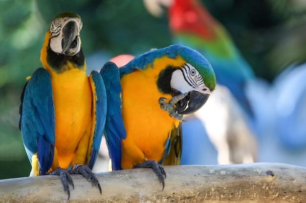 庭の青と黄色のコンゴウインコのオウムの鳥の頭をクローズアップ Premium写真