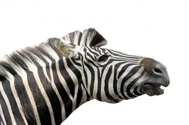 Close up head zebra on white Premium Photo