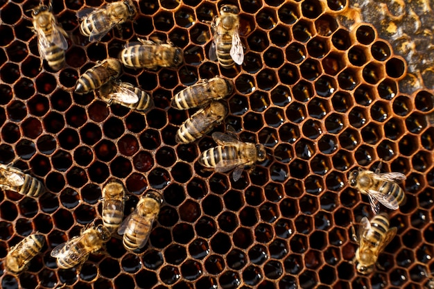Close up honeycomb in wooden frame with bees on it, apiculture concept, Premium Photo