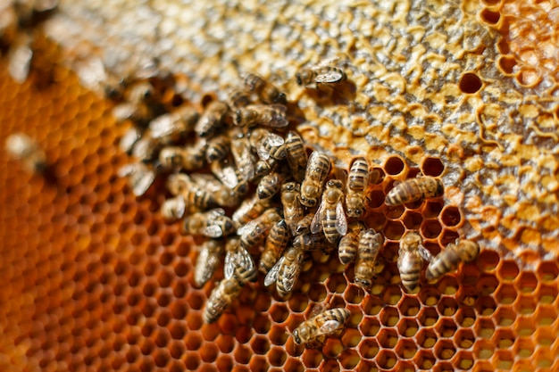Close up honeycomb in wooden frame with bees on it Premium Photo