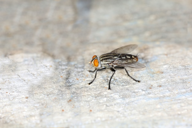 Close up the housefly insect on cement floor at thailand Premium Photo