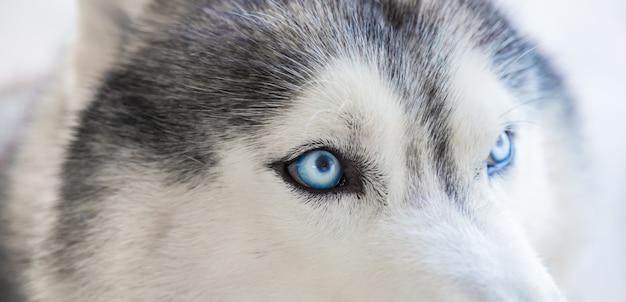 Close-up of a husky's eyes Free Photo