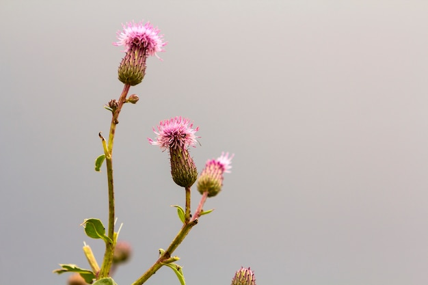 Close-up isolated beautiful pink purple spear thistle plant lit by morning sun blooming on high stems on blurred foggy soft colorful background. beauty of nature, weeds and agriculture concept. Premium Photo