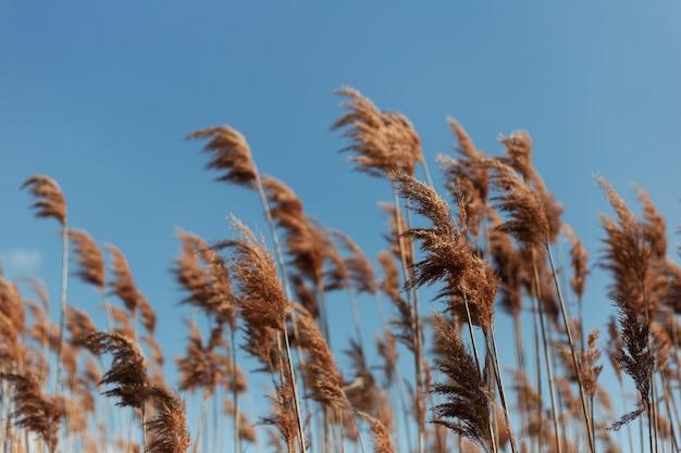 青い空の壁に乾いた葦のクローズアップ風景。 Premium写真