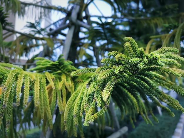Close-up leaves of norfolk island pine Premium Photo