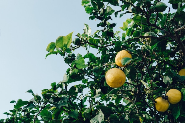Close-up of lemons on the tree Free Photo